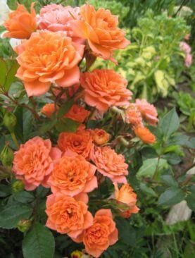 Розы Нинетта (Ninetta)